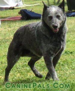 stumpytailed cattle dog