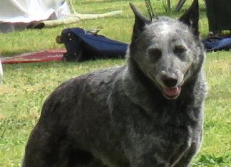 stumpytailed cattle dog