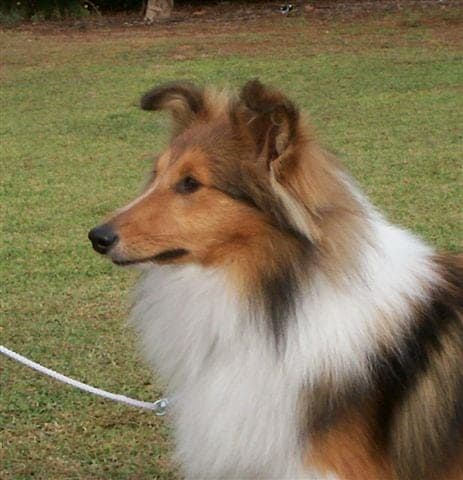 shetland sheepdog, Cancer in Dogs, why dogs get cancer