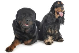 Cocker Spaniel and Rottweiler