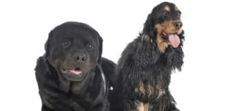 Cocker Spaniel and Rottweiler