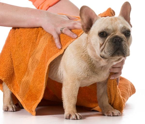 French Bulldog after Bathing