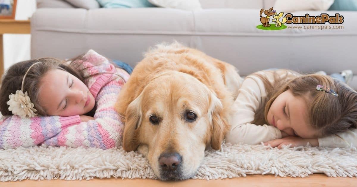 Golden Retrievers make wonderful family pets