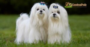 About Maltese Dogs: Differences in Male and Female Maltese