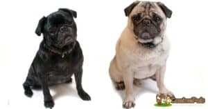 Pug Dogs