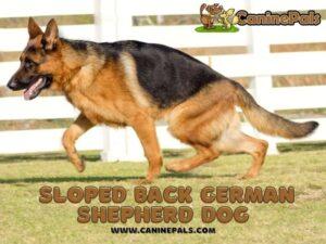 Sloped Back German Shepherd
