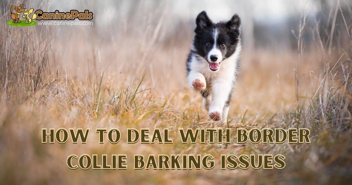 Border Collie Barking