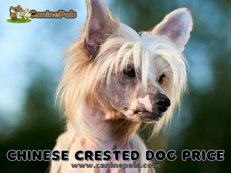 Chinese Crested Dog Price