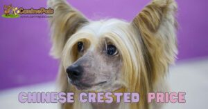 Chinese Crested price