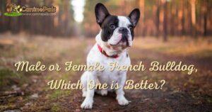Male or Female French bulldog