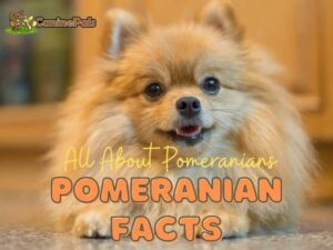 All About Pomeranians