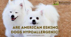Are American Eskimo Dogs Hypoallergenic?