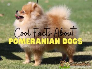 Cool Facts About Pomeranians
