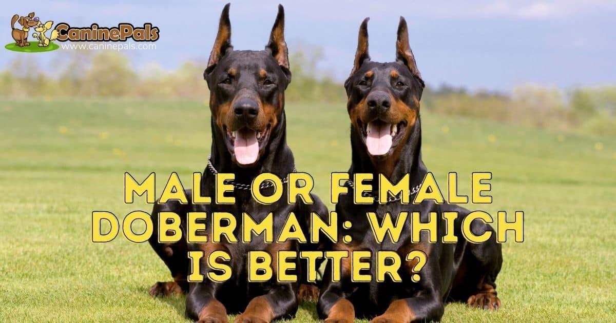 Male or Female Doberman