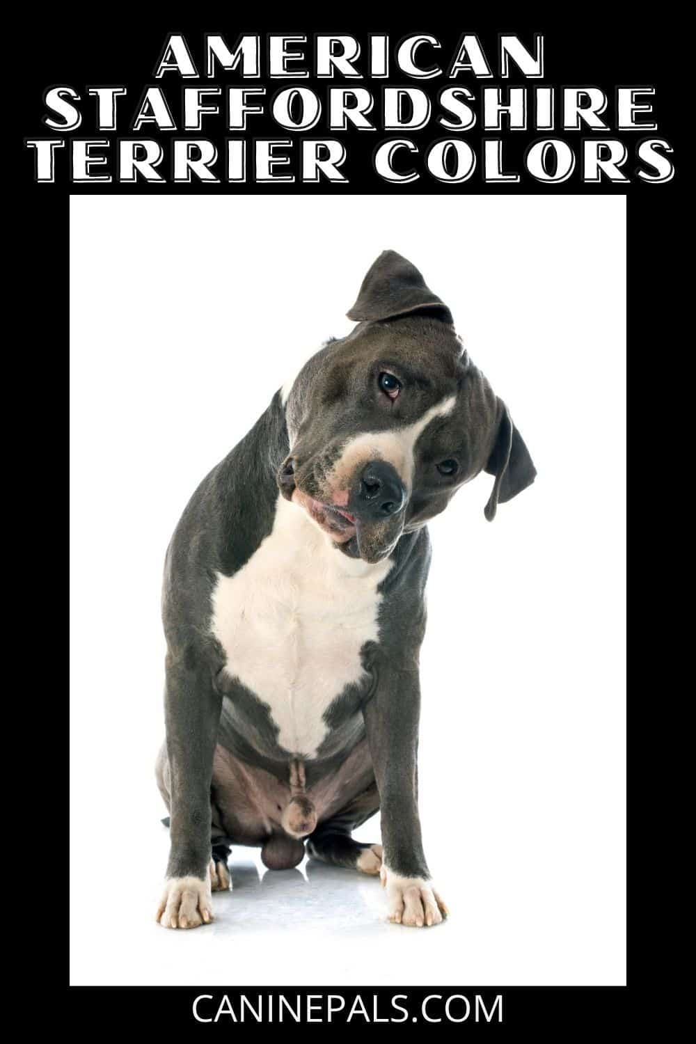 American Staffordshire Terrier Colors