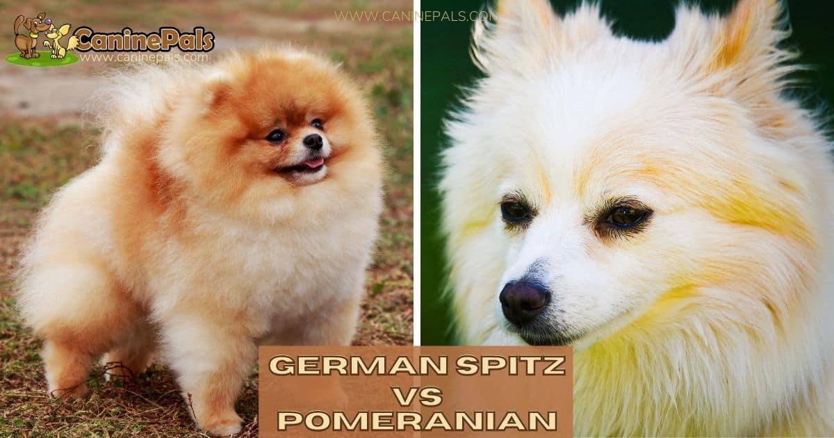German Spitz Vs Pomeranian