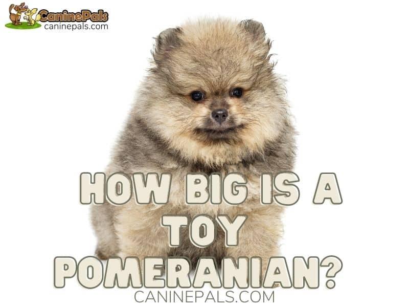 How Big is a Toy Pomeranian?