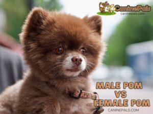 Male Pomeranian Vs Female Pomeranian