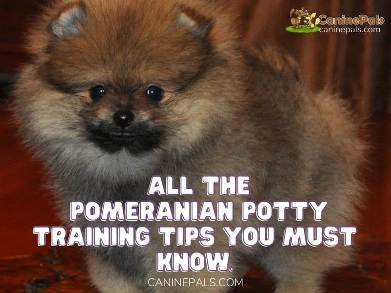 Pomeranian Potty Training