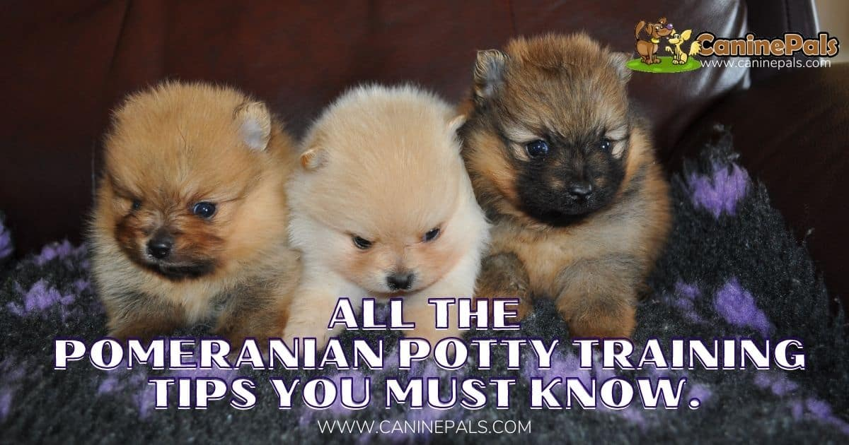 Pomeranian Potty Training Tips