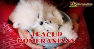 Teacup Pomeranian Dogs