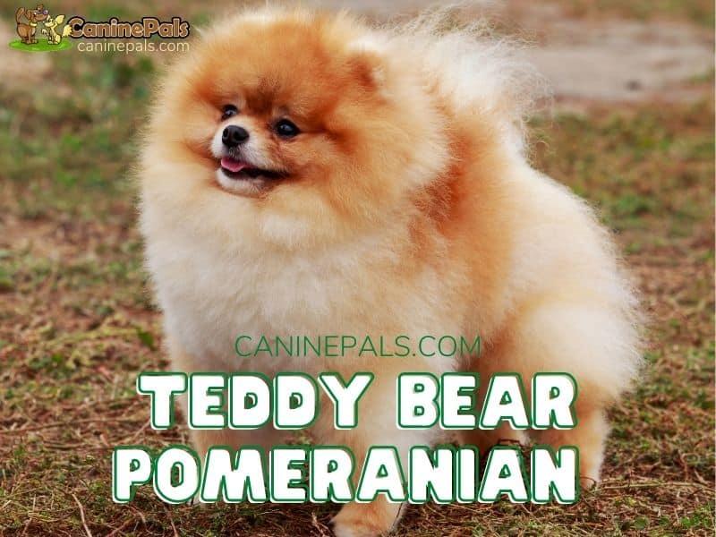 Teddy Bear Pomeranian
