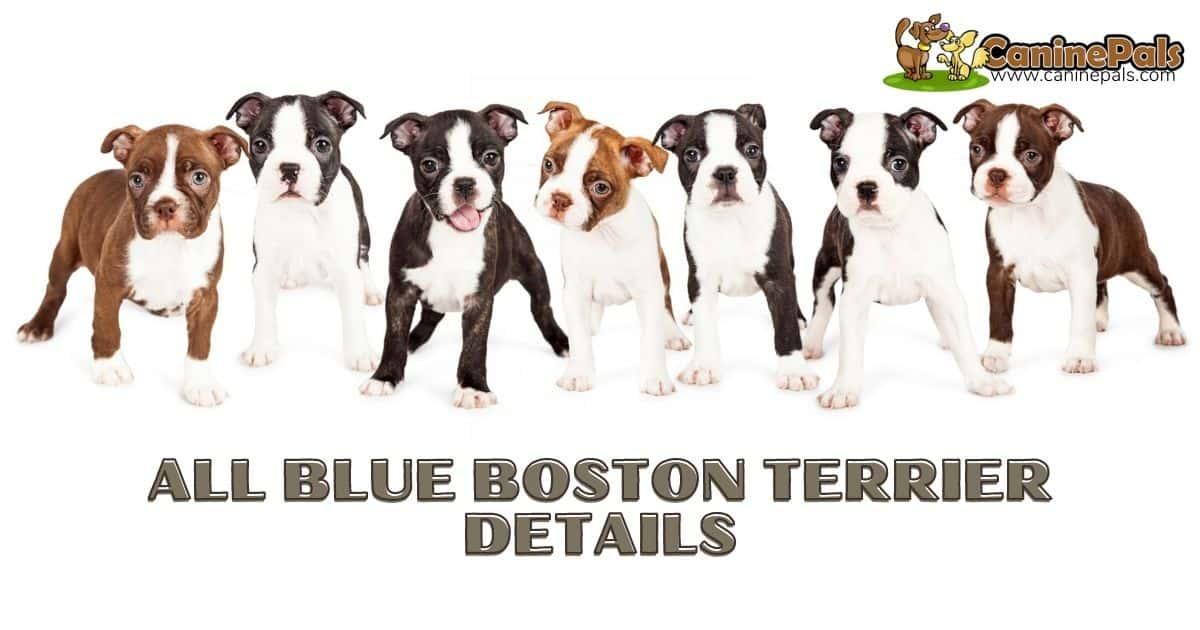 All Blue Boston Terrier Details