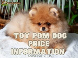 Toy Pom dog price Information