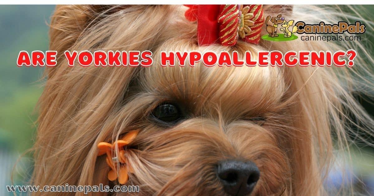 Are Yorkies Hypoallergenic?