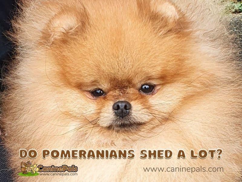 Do Pomeranians Shed A Lot?