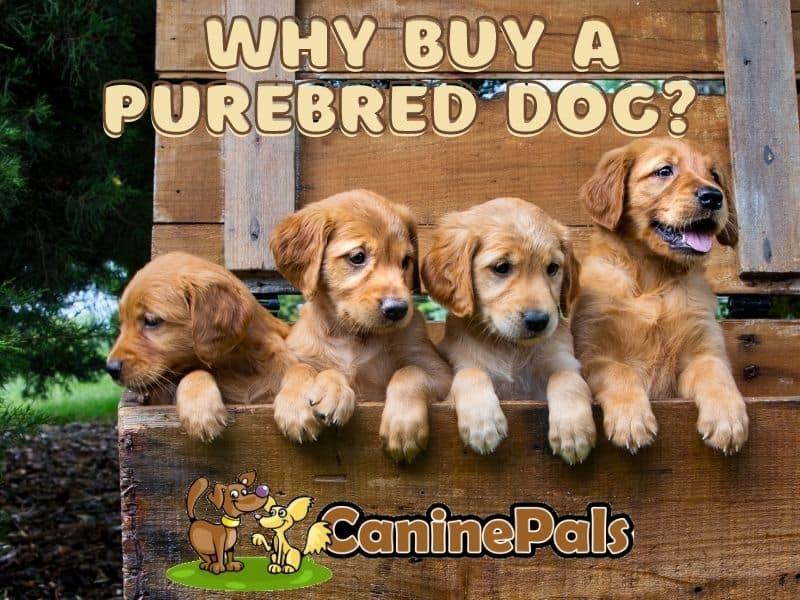 Why Buy a Purebred Dog?