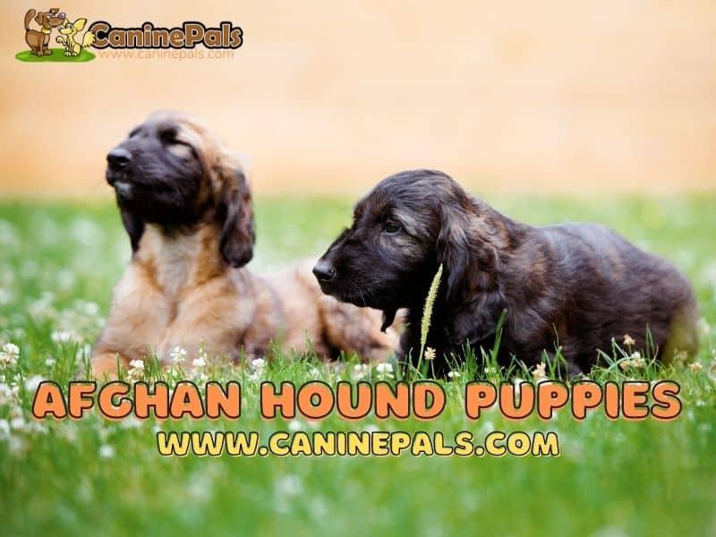 Afghan Hound Puppies