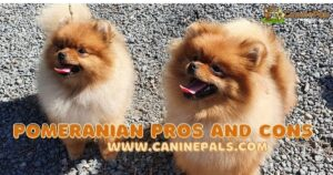 Pomeranian Pros and Cons