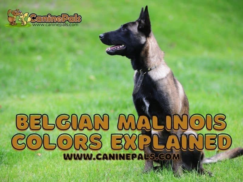 Belgian Malinois Colors Explained