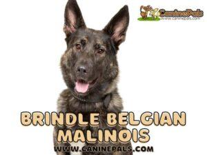 Brindle Belgian Malinois