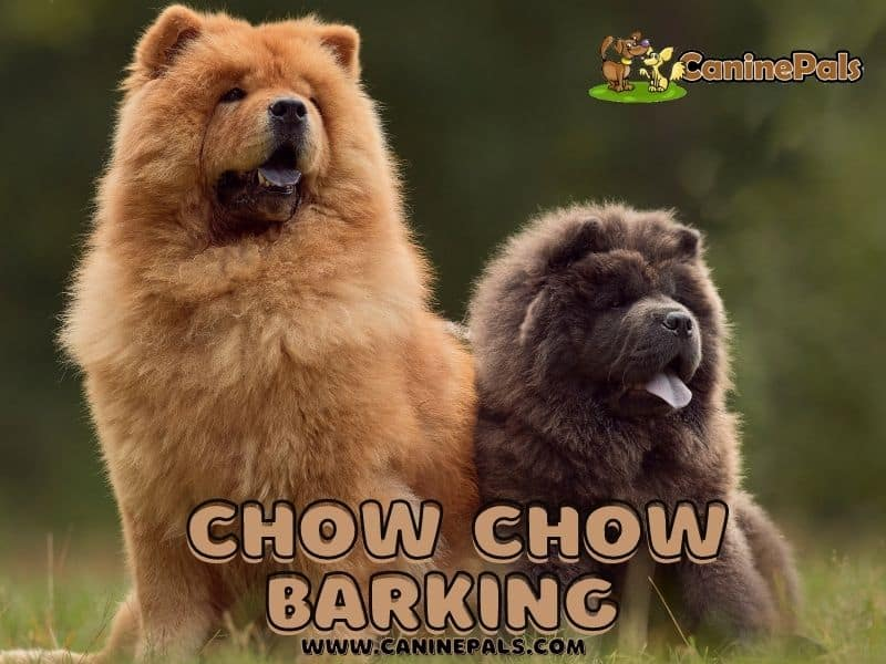 Chow Chow Barking