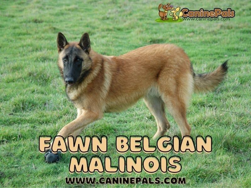 Fawn Belgian Malinois