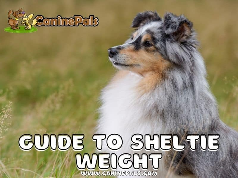 Guide to Sheltie Weight