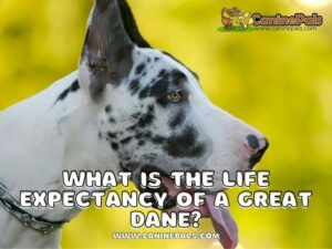 What is the Life Expectancy of a Great Dane?