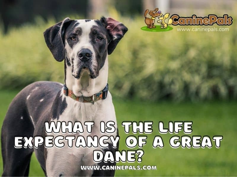 what is the life expectancy of a great dane
