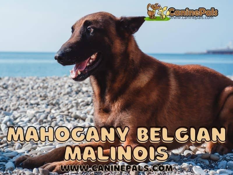 Mahogany Belgian Malinois