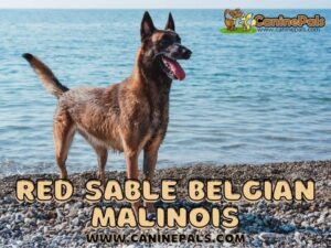 Red Sable Belgian Malinois
