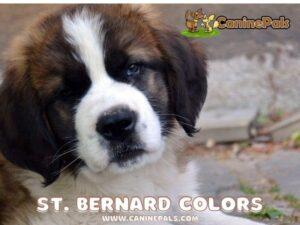 Saint Bernard Colors