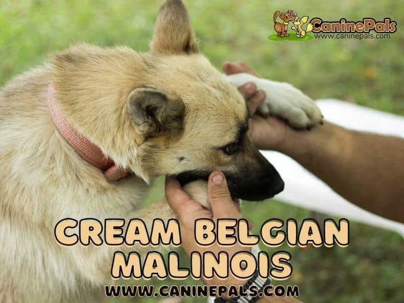 Cream Belgian Malinois