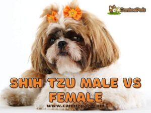 Shih Tzu Male VS Female